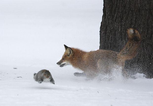 fox_20120409_00640_010 (620x428, 27Kb)