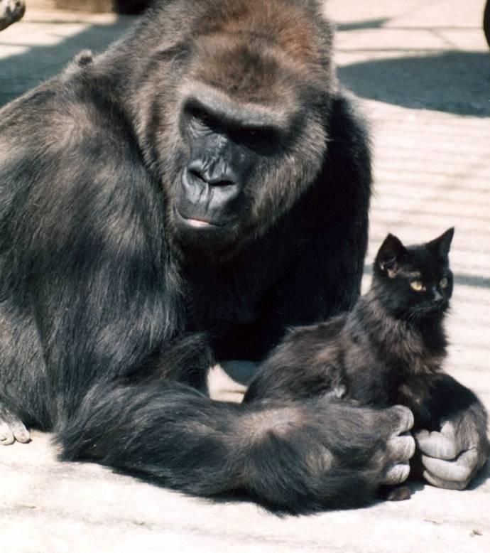 Горилла Метта из Ростовского зоопарка обожала кошек как своих детей