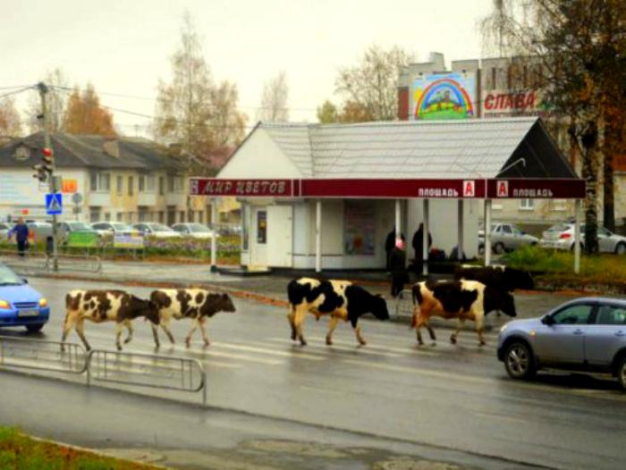 Коровы на зебре - забавно...