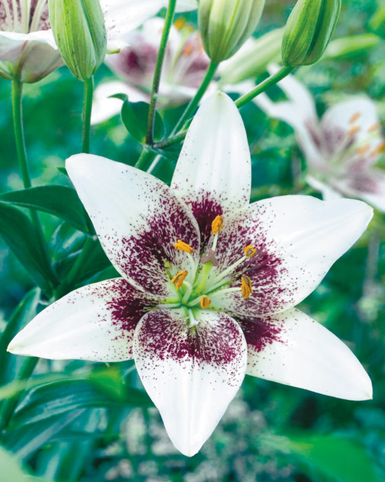 Легенды о цветах: Лилии (560x700, 149Kb)