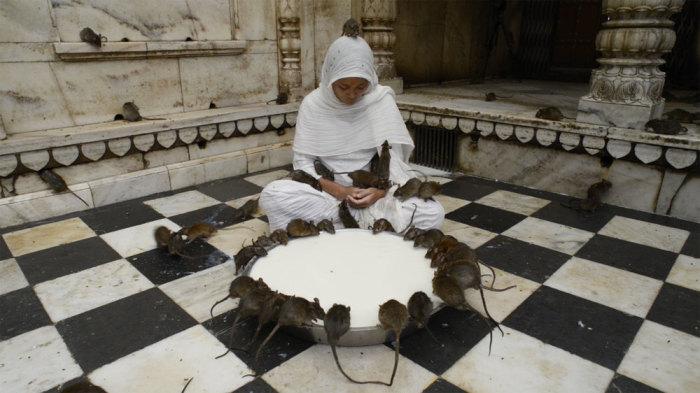 Карни Мата: индийский храм, где поклоняются живым крысам