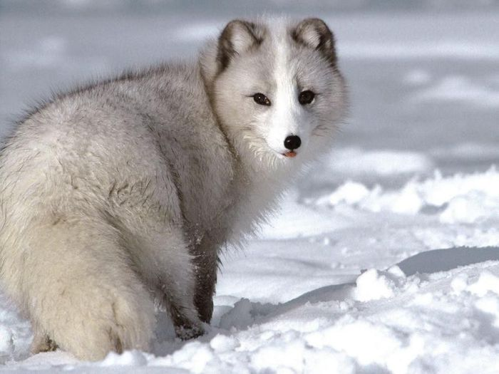 fox_20120409_00640_027 (700x500, 50Kb)