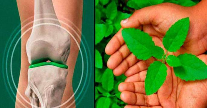 4 мощные травы, которые восстановят хрящи коленей и бедер