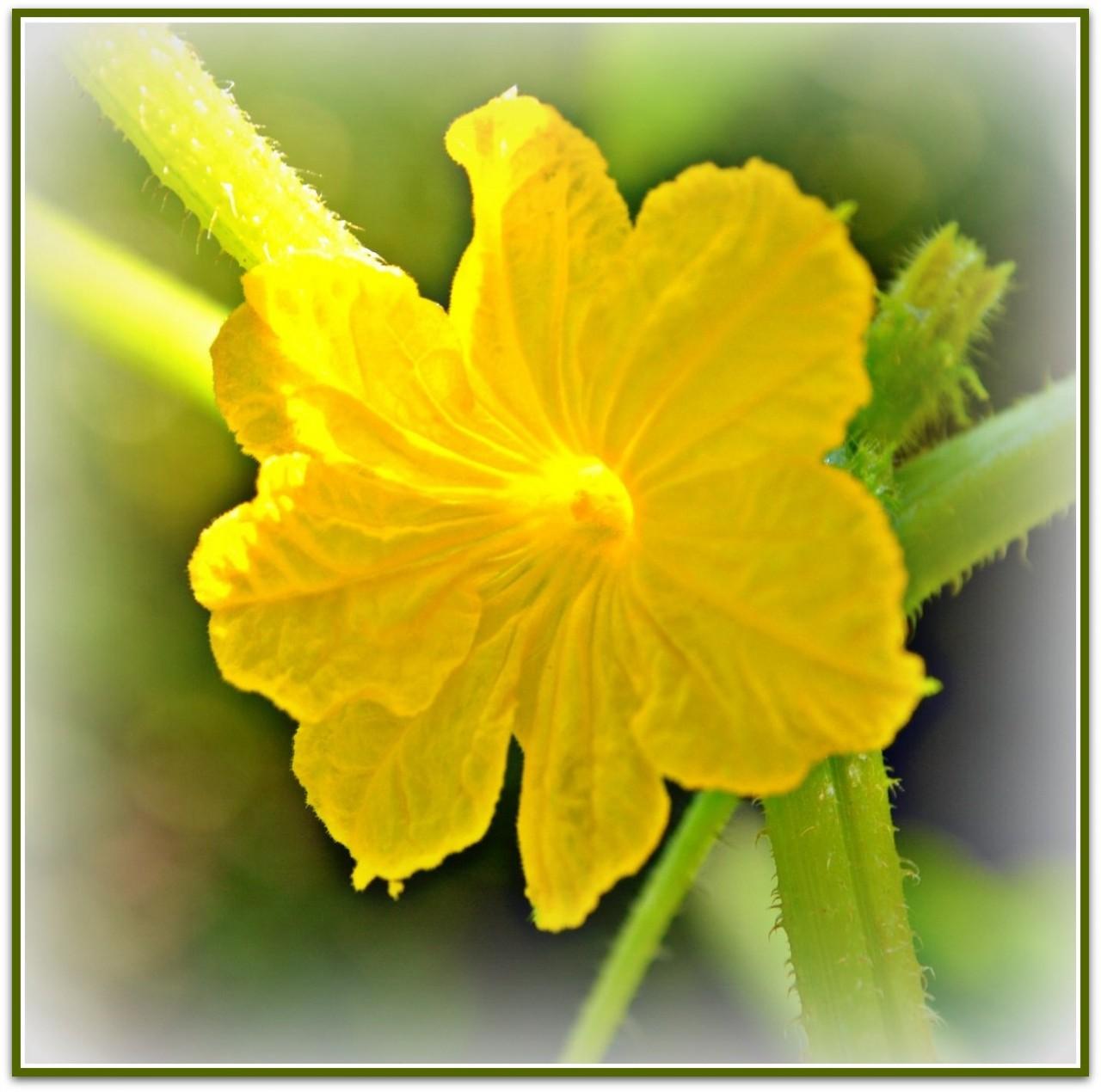 Женский цветок дыни фото