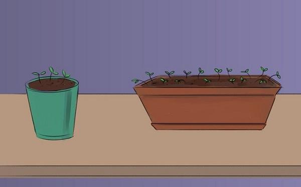 8 правил выращивания базилика в горшках: секреты огородника картинки