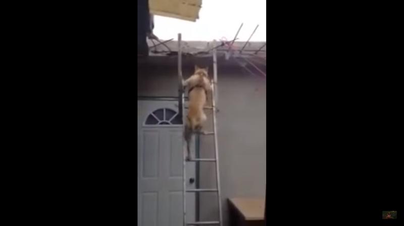 Собака спустилась с крыши по лестнице видео, животные, прикол, собака