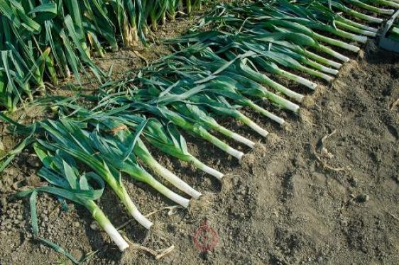 Сельдерей - хитрости январского посева