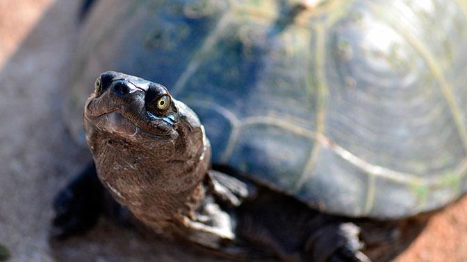 В Эстонии сбежавшая черепаха…