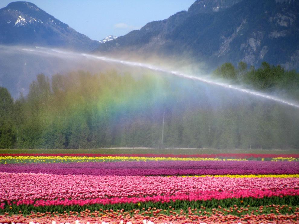 tulips18 Самые яркие тюльпаны со всего света