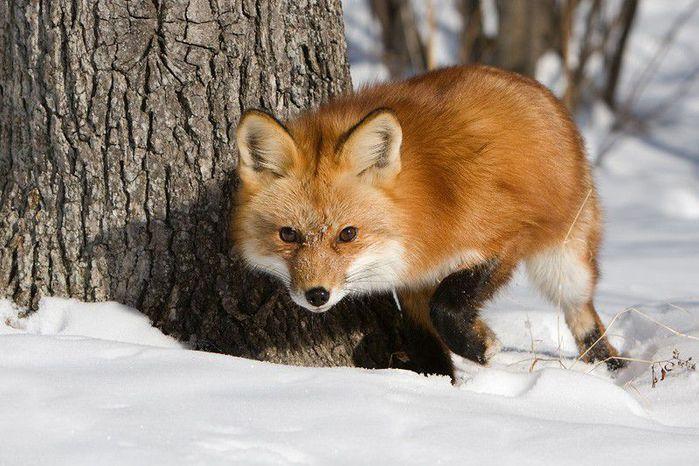 fox_20120409_00640_041 (700x500, 74Kb)