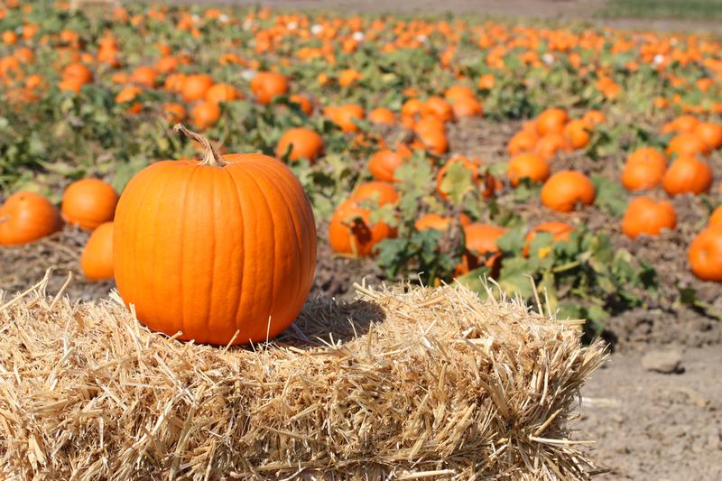 Уборку позднеспелой тыквы следует начинать в середине — конце сентября