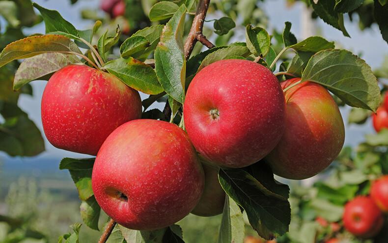 Как «заставить» яблони плодоносить