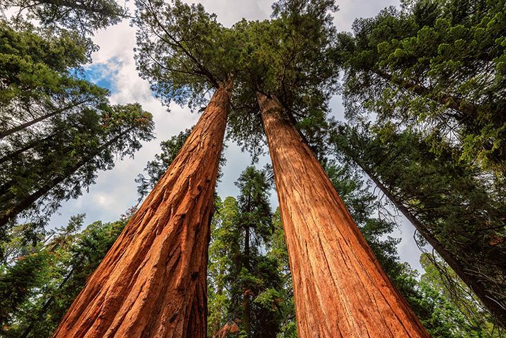 красные деревья которые растут в штате калифорния уехать Австралию обучение