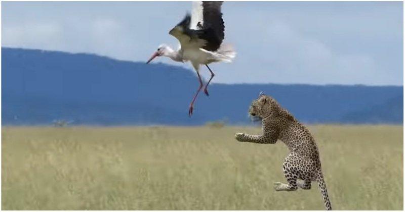 Акела промахнулся! Аист оказалась не по зубам леопарду
