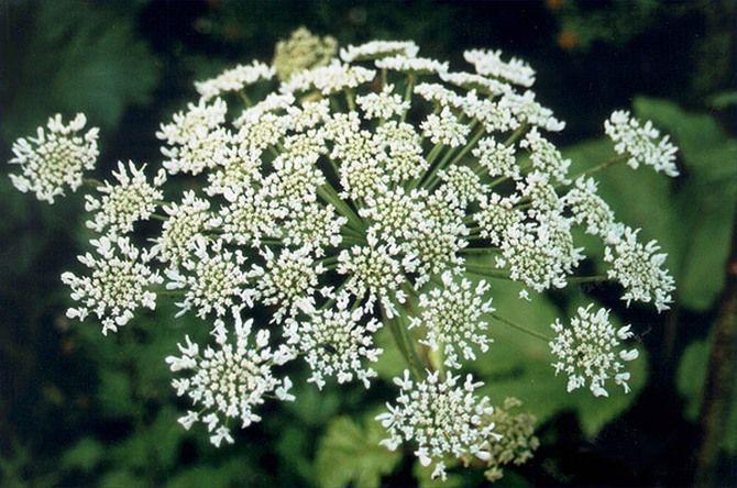Самые ядовитые растения в России яд, россия, растения, природа