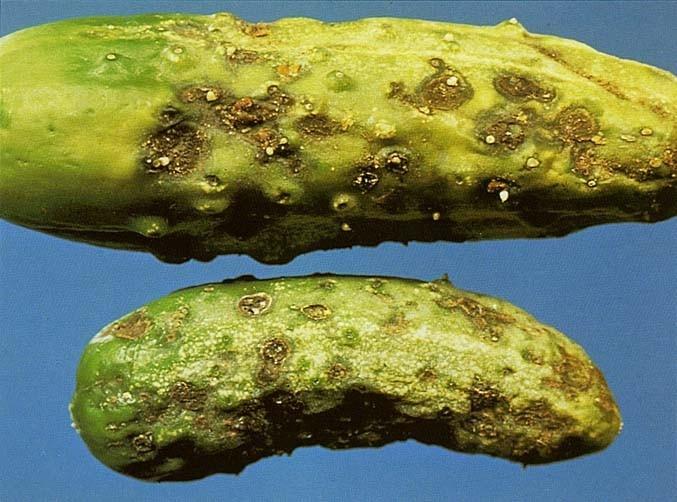 Кладоспориоз — бурая оливковая пятнистость