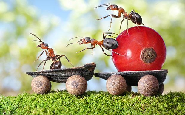Угостите муравьиную королеву борной кислотой и злодеи покинут ваш участок