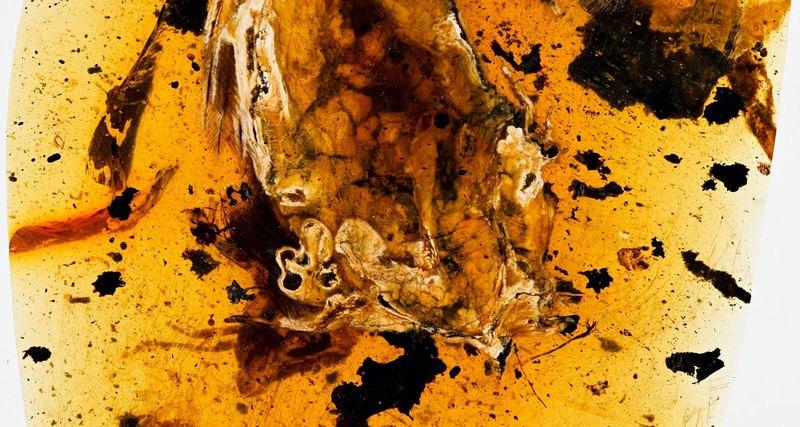 В янтаре найдена птица возрастом 99 млн лет