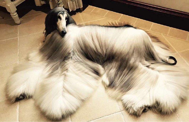 Китаец тратит $800 в месяц на уход за шерстью своей собаки