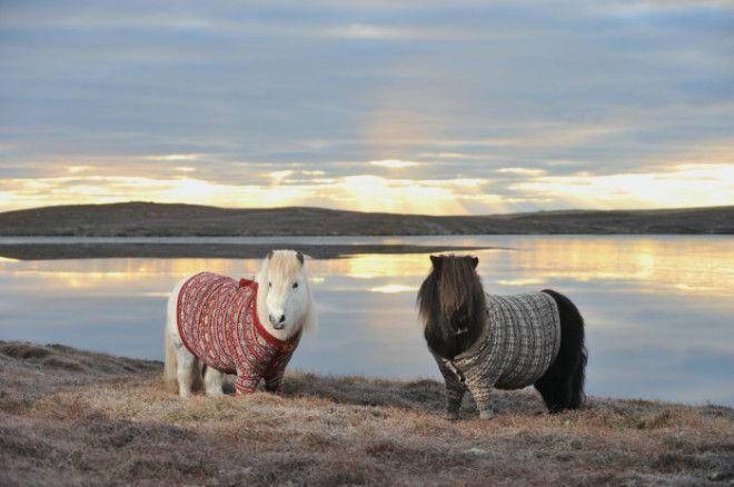 Милые пони в вязаных свитерах символ Шотландии