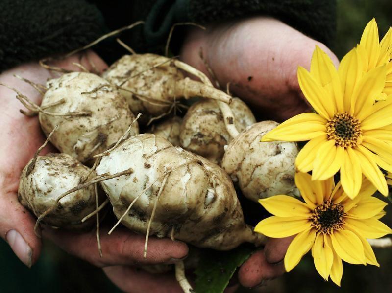 Овощ, который лечит подагру, псориаз, остеохондроз и многое другое