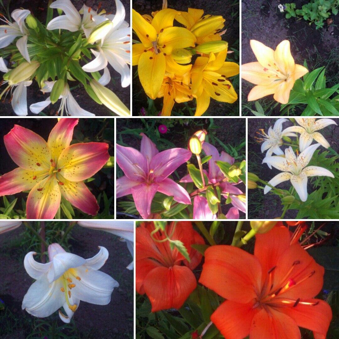 Оцените мои лилии!!!!