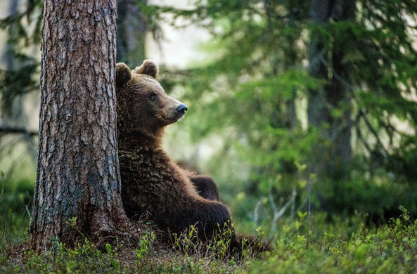 В Кемеровской области медведь помог заблудившимся выбраться из леса