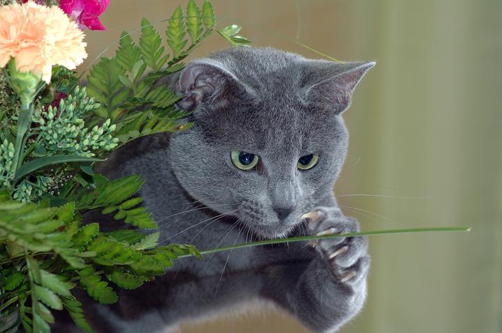Домашний патриотизм: русские породы кошек