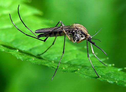 Растения, которые отгонят от вас комаров