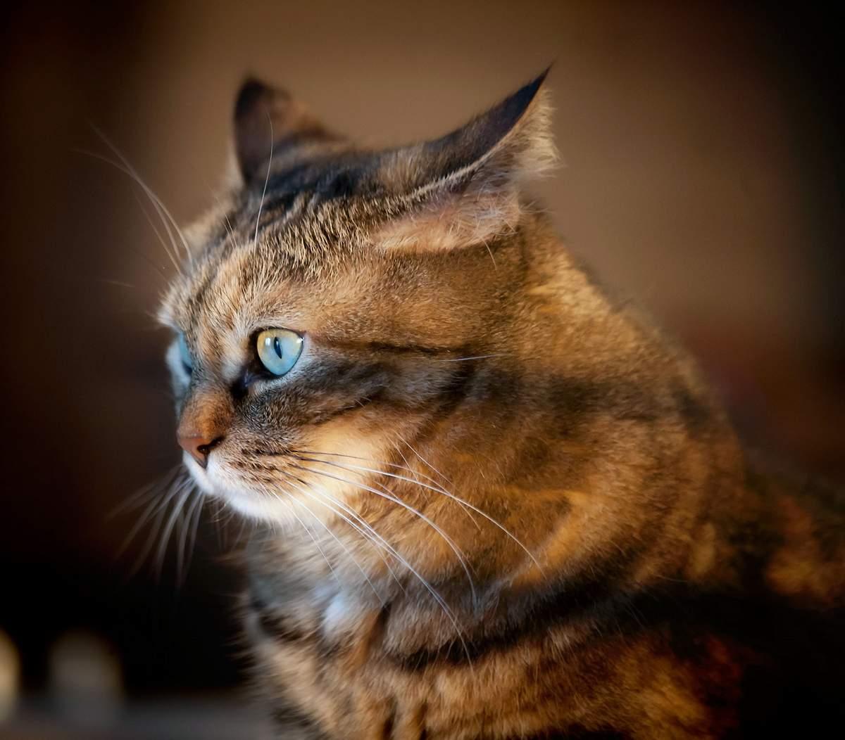 Дирофиляриоз кошек