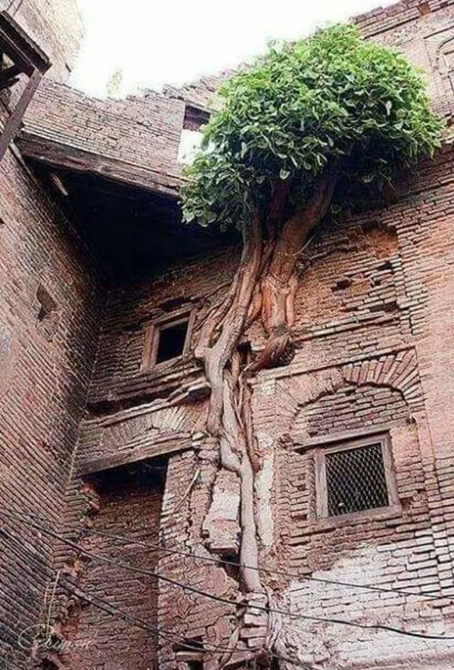 Дерево срослось с домом, Пакистан заброшенное, красиво, мир без людей, природа берет свое, фото, цивилизация