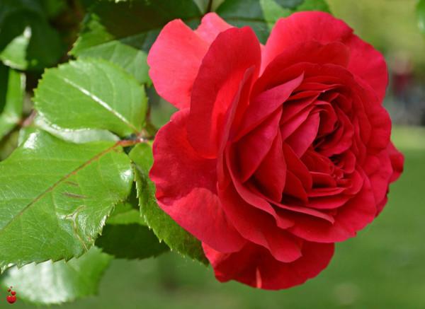 Кормлю свои розы правильно