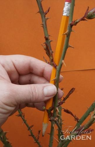 карандаш возле стебля розы