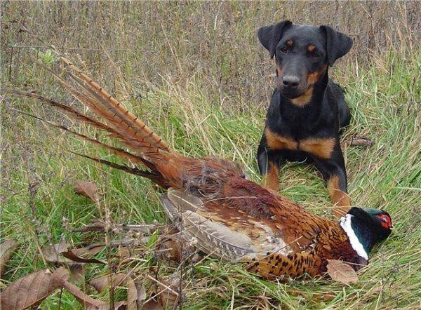 Правила обучения охотничьих собак разных пород
