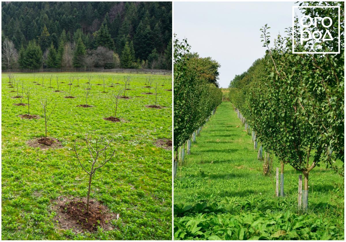 Выращивание низкорослых яблонь 49