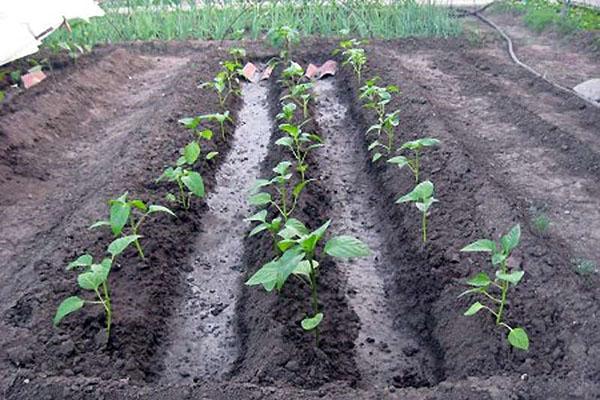 Несложное выращивание рассады перца чили