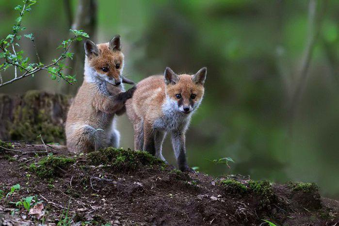 fox_20120409_00640_056 (700x500, 61Kb)
