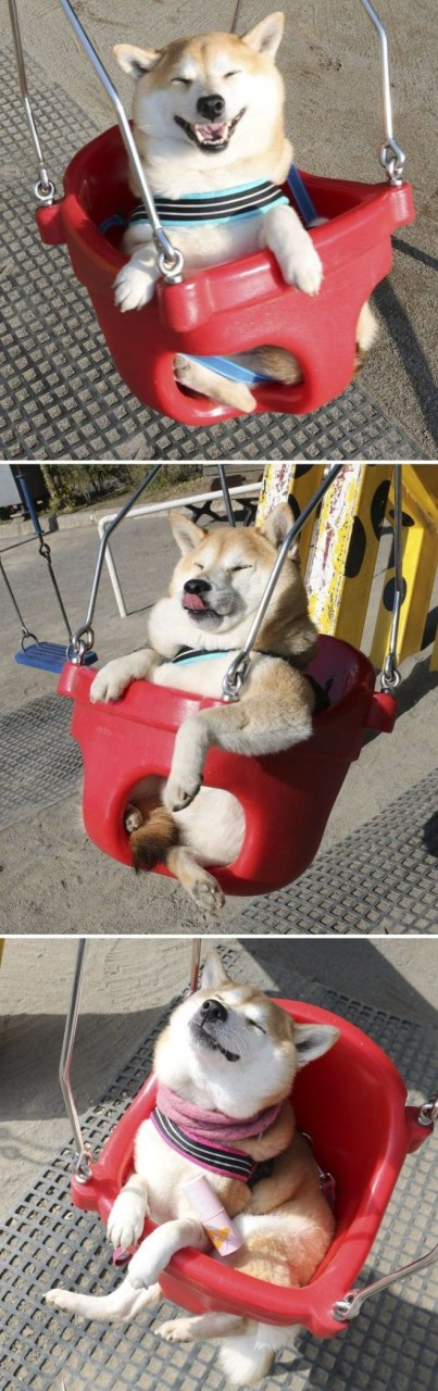 20 доказательств, что с собаками сиба-ину надо всегда иметь под рукой фотик