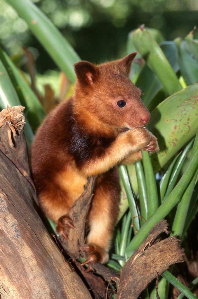Cute tree kangaroo