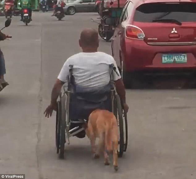 Собака-поводырь толкает инвалидную коляску хозяина, чтобы помочь ему преодолеть большое расстояние