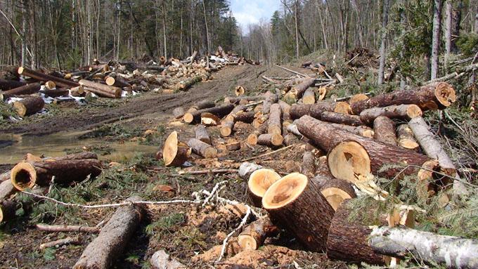 У леса две беды - браконьеры и чиновники