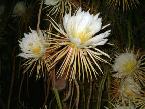 Ночное цветение гилоцереуса во Флориде