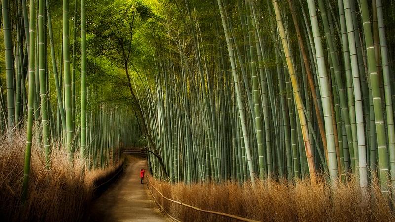 Бамбуковая роща Сагано. Одинокий посетитель.