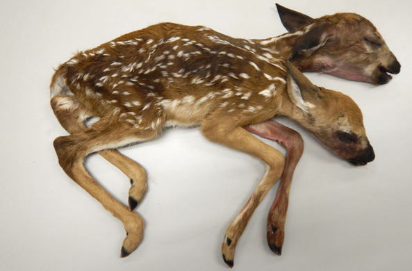 В Миннесоте обнаружили двухголового олененка