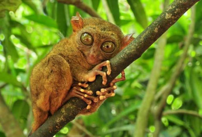 Долгопяты: Милые глазастые хищники