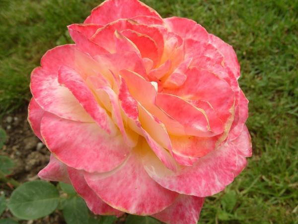 Чайно-гибридная роза сорт Canary