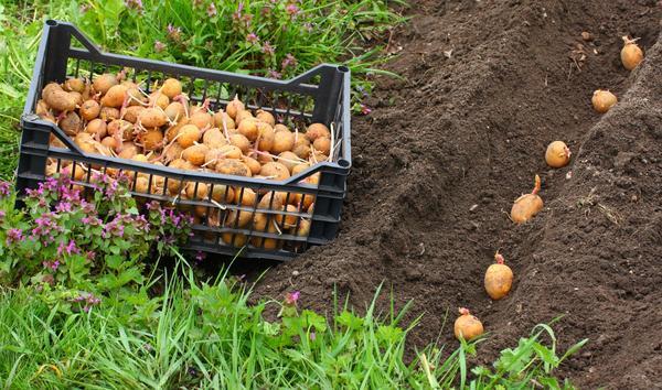 порно на посадке картофеля