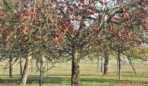 Уход за яблонями осенью в саду