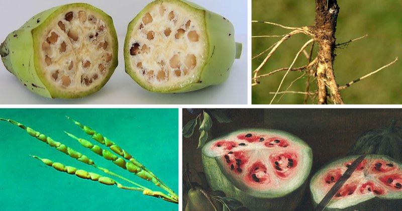 Как привычные нам овощи и фрукты выглядели в древности(15 фото)