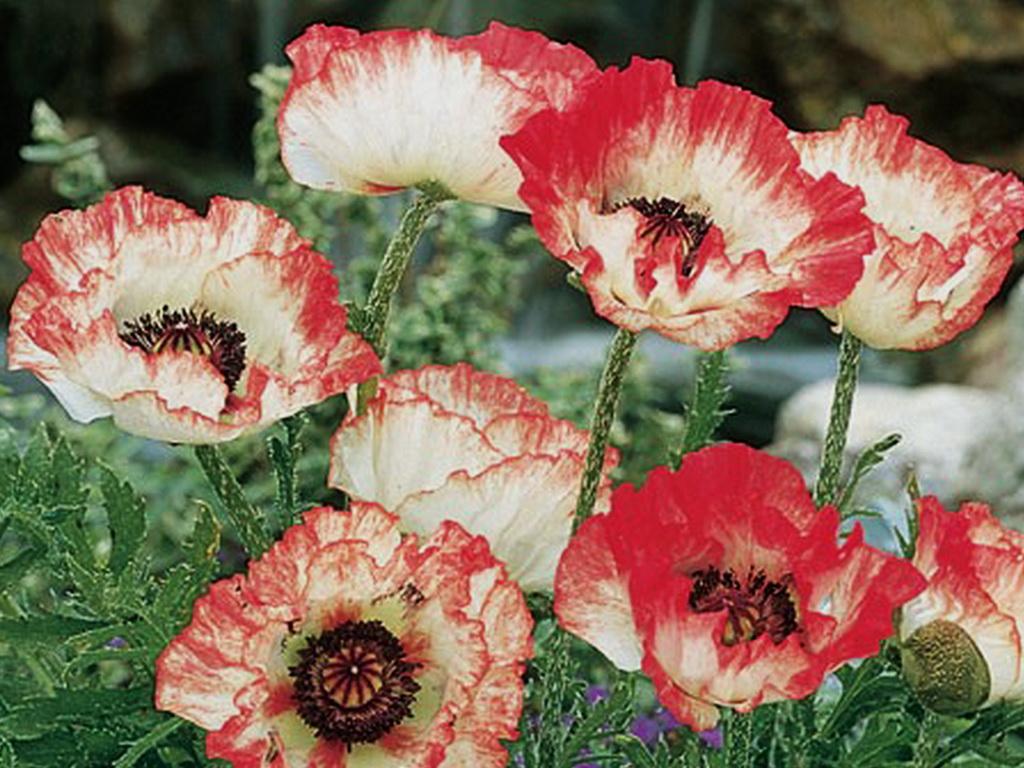 Мак садовый цветов